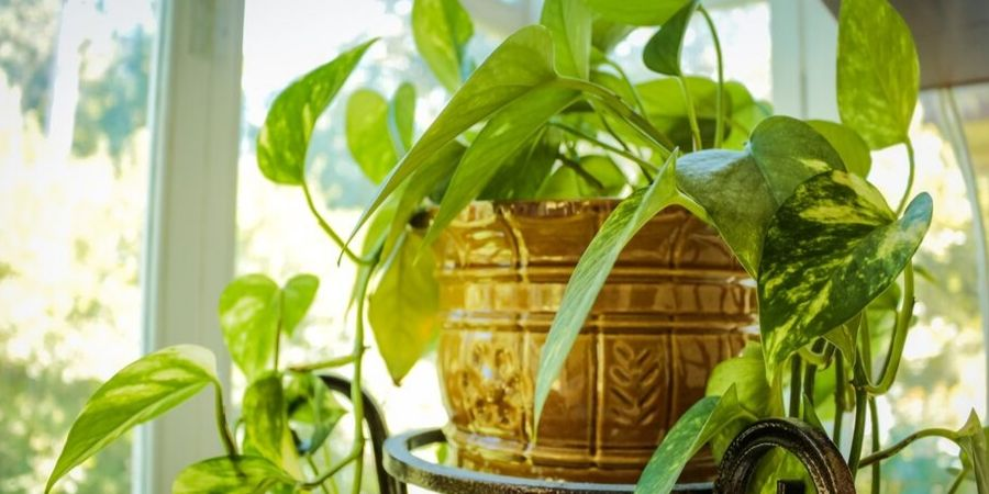 Thriving Indoor Plant in Sunlight